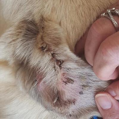 Ticks in the Ear of a Street Dog