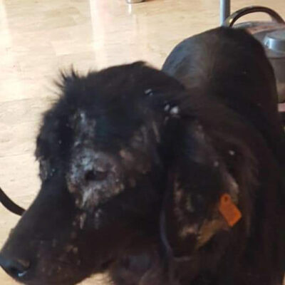A dog KAPSA treated for tick carried diseases like ehrlichiosis, plus the dreadful itch and fur loss caused by flea infestations & mange